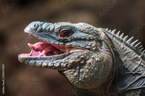 Photo Green Iguana