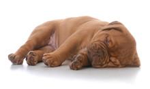 Female Dogue De Bordeaux Puppy...