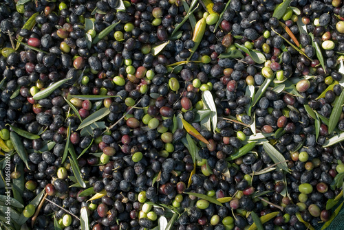 detail: hand picking olives from plants, green, black, beating, to obtain extra Poster