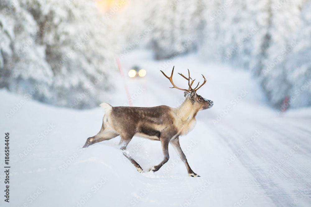 Reindeer crossing a winter road, cars headlights visible in the distance