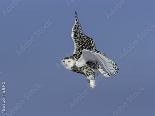 Snowy Owl Female  in Flight on Blue Sky