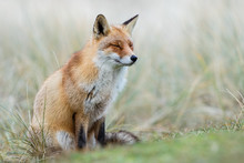 Red Fox In Winter Habitat