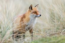 Red Fox In Winter Habitat