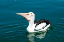 A Pelican Floating On Blue Wat...