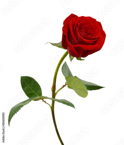 Foto op Canvas Roses Single beautiful red rose isolated on white background