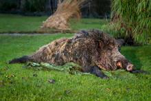 Wild Boar - Hunting Prey