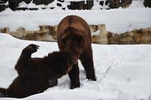 Bears Wrestling In Snow