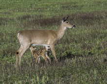 Whitetail Doe And Young Fawn I...