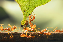 Close Up Teamwork Red Ant Stan...