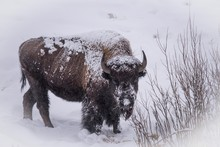 Winter Snows Of Yellowstone