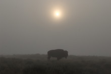 Foggy Morning Bison Buffalo