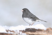 Junco On A Branch With Snow