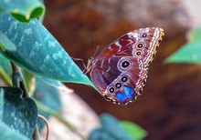 Beautiful Blue Morpho Butterfly Sitting On A Leaf, Underside Exposed