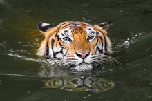 Bengal Tiger Swimming Show Head