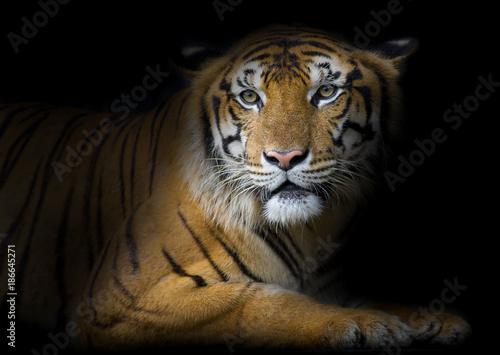 Foto op Aluminium Tijger Bengal Tiger sleeps clean