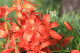 red lilly flowers plant