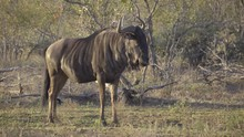 Wildebeest Stands Alone In The...