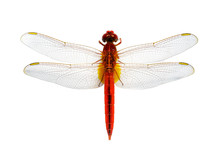 Image Of Red Dragonfly On A Wh...
