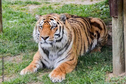 In de dag Tijger Tigre de Siberie