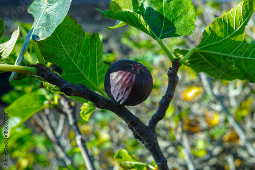 Foto op Plexiglas Canarische Eilanden Vegetation on lava rocks, fig fruits riping on fig tree, Timanfaya national park, Lanzarote, Canary Islands, Spain