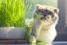 Cute Cat With Funny Face Eating Organic Grass In Day