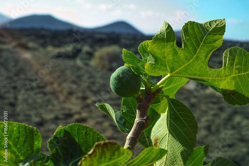 Tuinposter Canarische Eilanden Vegetation on lava rocks, fig fruits riping on fig tree, Timanfaya national park, Lanzarote, Canary Islands, Spain