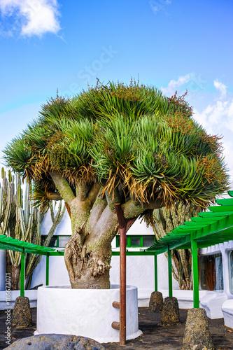 Tuinposter Canarische Eilanden Old big green Dragon tree, Canary Islands, Spain
