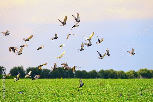 Flock of wild pigeons on a sunset
