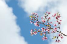 Wild Himalayan Cherry, Beauti...