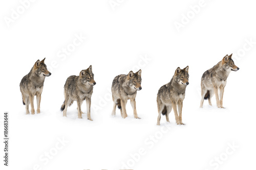 Cadres-photo bureau Loup pack of wolves