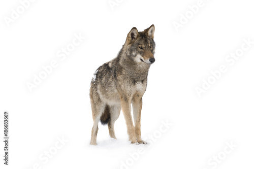 Cadres-photo bureau Loup gray wolf