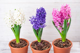 Spring background with hyacinth flowers. Holidays card 8 March, Mother's day, Easter