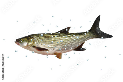 asp predatory freshwater fish on white background Canvas Print