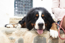 Portrait Of A Bernese Mountain Dog Lying On The Ground With A Tired Faced