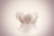 Flor Magnolia Sobre El Agua En Calma
