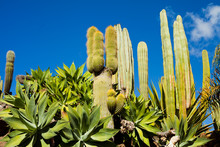 Cacti Green Spring Landscape On Canary Islands