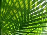 green shine palm leaf
