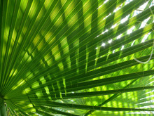Green Shine Palm Leaf