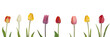 Bunte Tulpen als Panorama, freigestellt