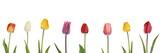 Fototapeta Tulipany - Bunte Tulpen als Panorama, freigestellt