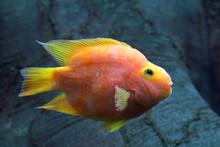 Red Parrot Cichlid. Aquarium F...