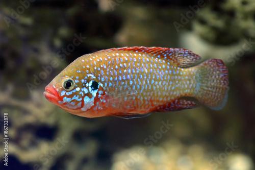 Valokuva  Hemichromis bimaculatus. Jewelfish fish chromis closeup