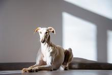 Großer Weißer Hund Liegt Auf Dem Boden In Einem Hellen Raum, Galgo Espanól