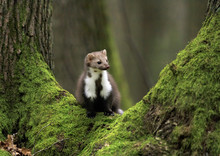 Stone Marten On An Old Tree