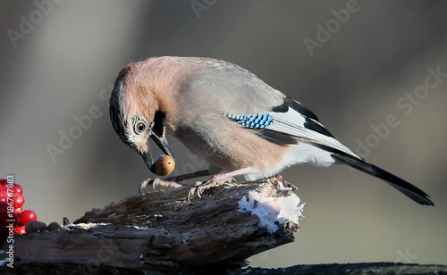 Fotografia The Eurasian jay with an acorn in its beak sits on a branch with viburnum berrie