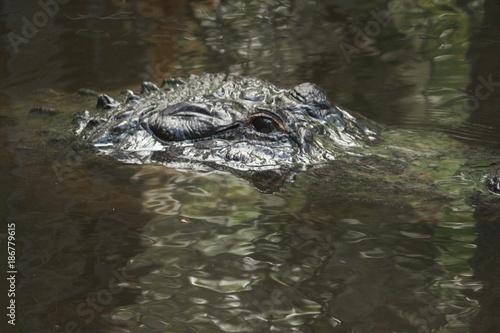 Cadres-photo bureau Crocodile An Alligator Lurking In the Water / Florida Wildlife