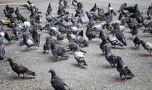 Many Pigeons On Ground