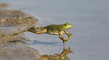 Adult American Bullfrog (Litho...