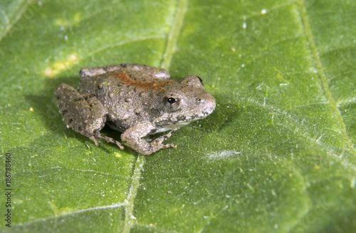 Blanchard's Northern Cricket Frog (Acris crepitans blanchardi) on a leaf, Ames, Wallpaper Mural