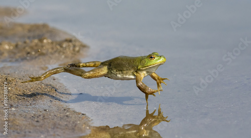 Spoed Foto op Canvas Kikker Adult American bullfrog (Lithobates catesbeianus) jumping in a forest lake, Ames, Iowa, USA